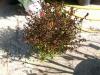abelia-grandiflora-50-60